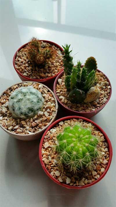 four-cactus-friends