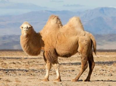 Camel Curves